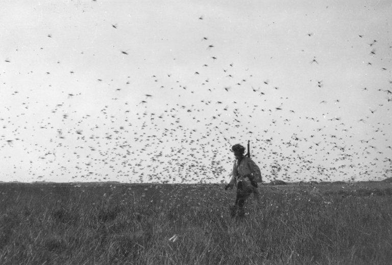 Locust swarm western sahara 1944 Eugenio Morales Agacino's Photographic Archive 3.0 share alike.jpg