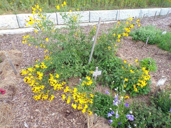 New Herb  Row 4, echinacea paradoxa crop July 2020.jpg
