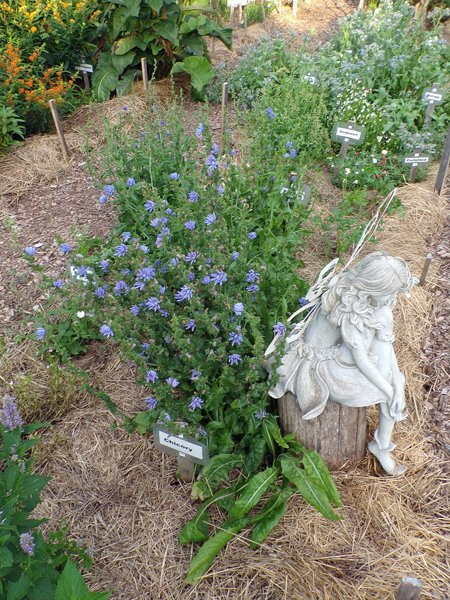 New Herb  Row 2, fairy and chicory crop July 2020.jpg