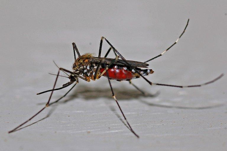 mosquito-562066_1280.jpg