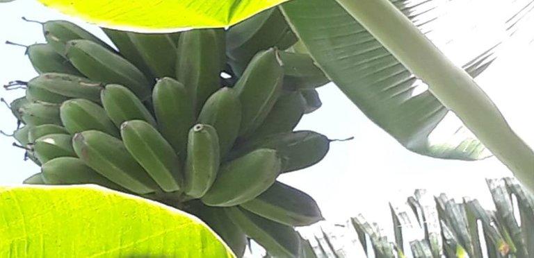 fruit sabang saging1.jpg