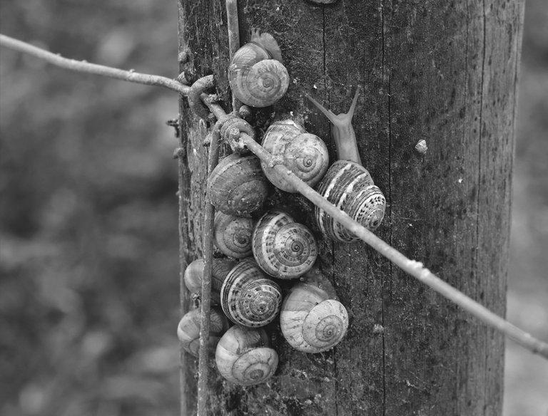 snail shells pole bw 1.jpg