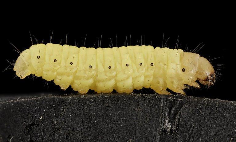 waxworm911591_1920.jpg