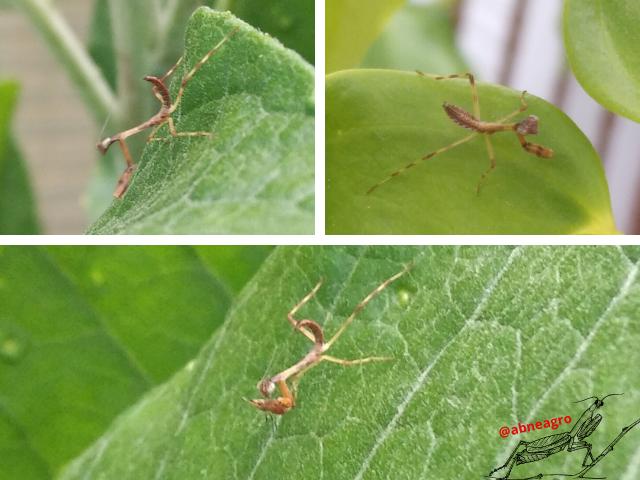 Mantidae.png