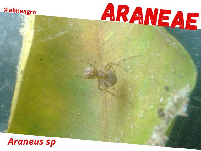Araneae5.png