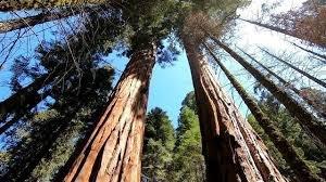 Sequoia.jfif