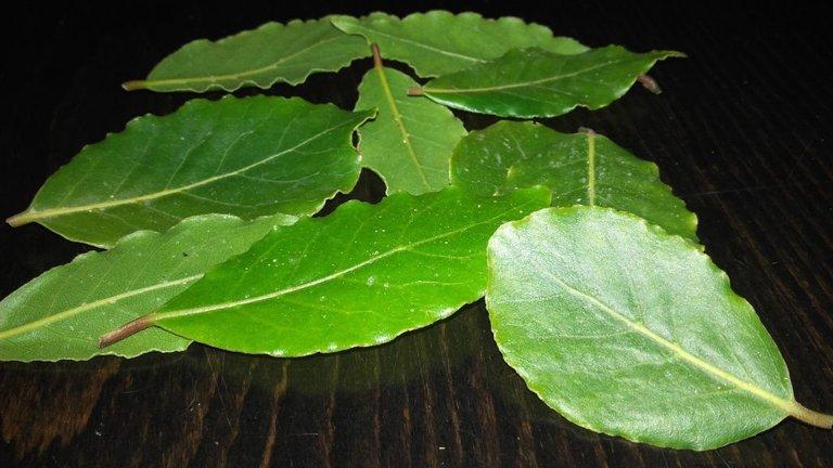 liść laurowy