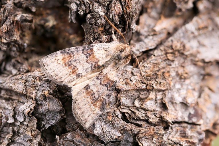 Violettgrauer Eulenspinner Cymatophorina diluta_P20544972420201021.jpg