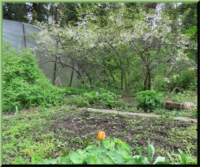 greens garden plums in full bloom single tulip seedlings coming up.JPG