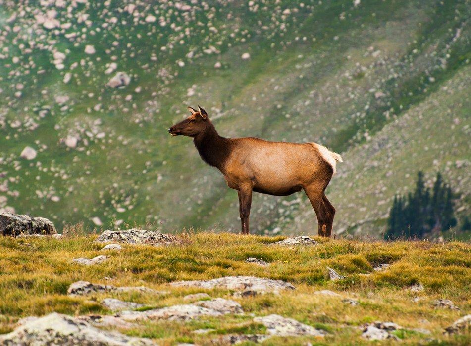 alpineelksmall.jpg