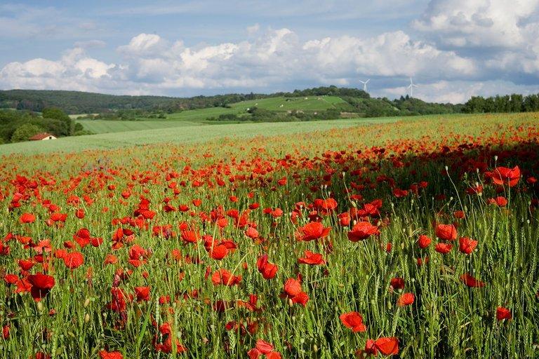 poppy fields landscape photography by fraenk