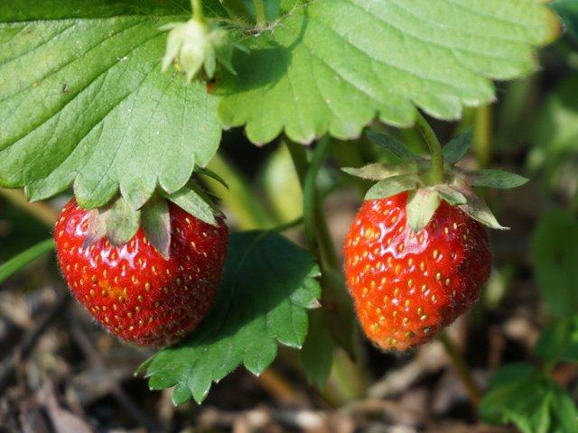 005_strawberry.jpg