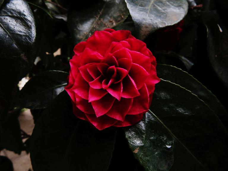 4907-RedFlower.png