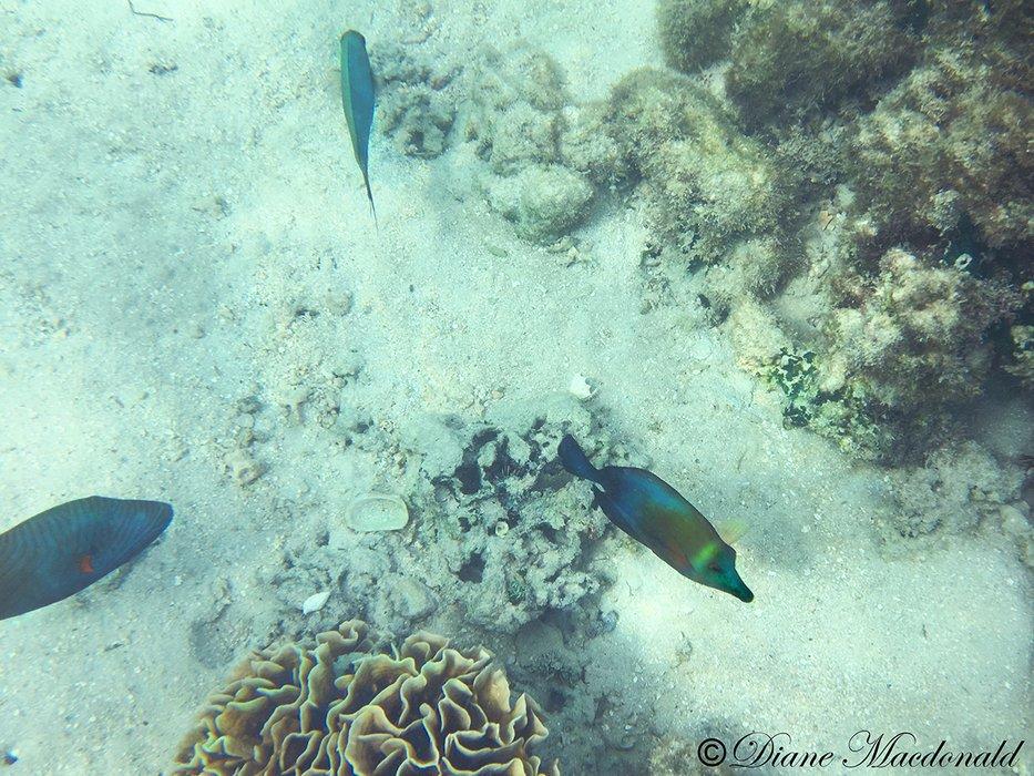 fish huahine.jpg