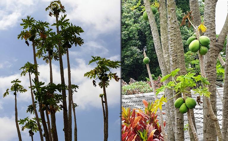 Papaya trees.png