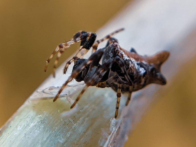 orb spider (8).jpeg