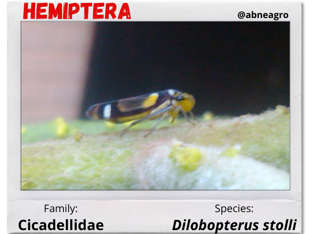 Hemiptera portada.png