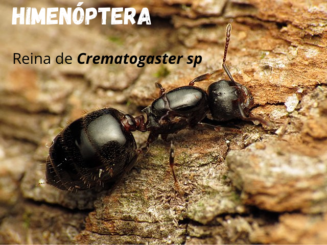 Hymenoptera reina.png