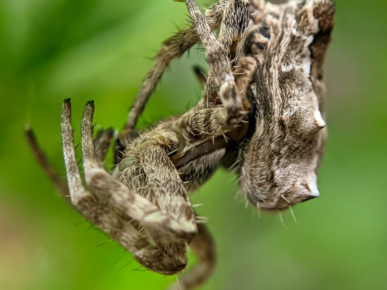 orb spider (4).jpeg