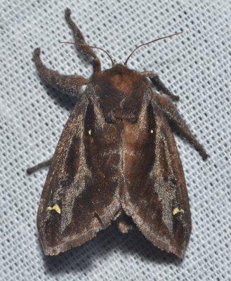 Saddleback caterpillar moth Acharia_stimulea Andy Reago  Chrissy McClarren 2.0.jpg