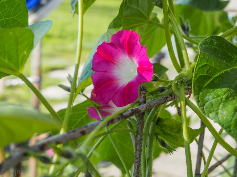 красива квітка берізка 3.jpg