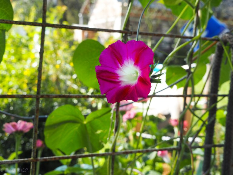 красива квітка берізка 1.jpg