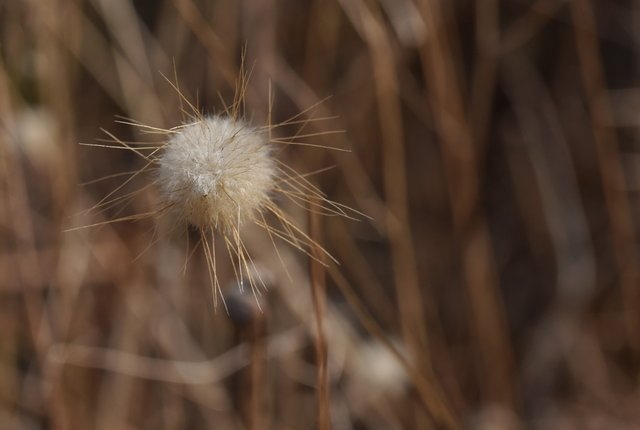 grass fluffy head 1.jpg