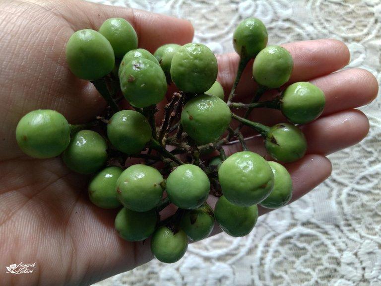 Solanum Torvum Fruits.jpg