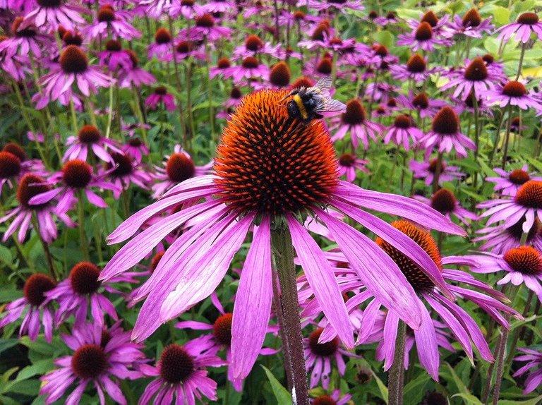 echinacea-1713939_960_720.jpg