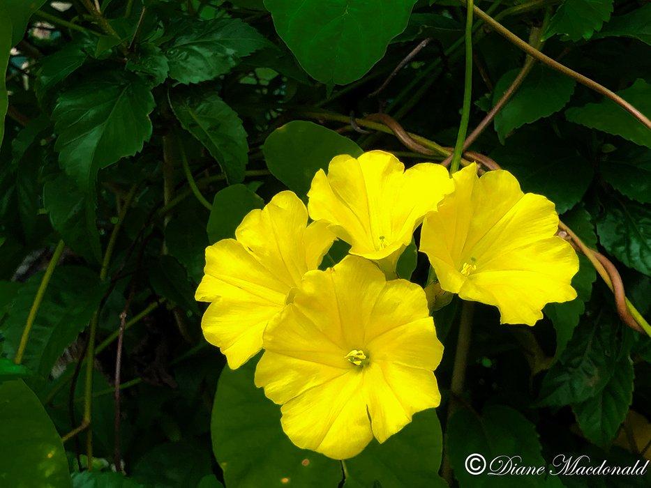 yellow flower huahine.jpg
