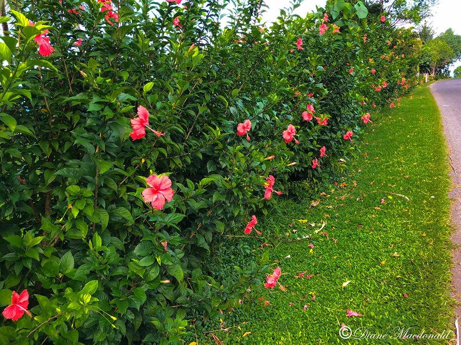 hibiscus bush huahine.jpg
