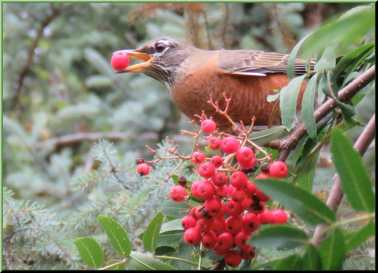 close up Robin eating mountain ash berry.JPG