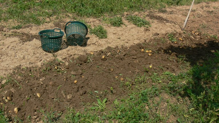 potato_harvest_belana_2021_3_.jpg