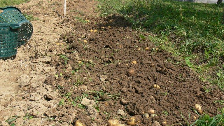 potato_harvest_belana_2021_1_.jpg