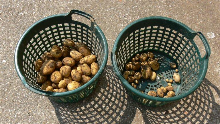 potato_harvest_belana_2021_6_.jpg