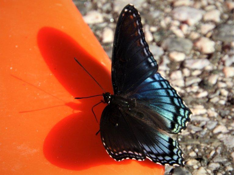 butterflyshadow7-21-2020-1aok.jpg