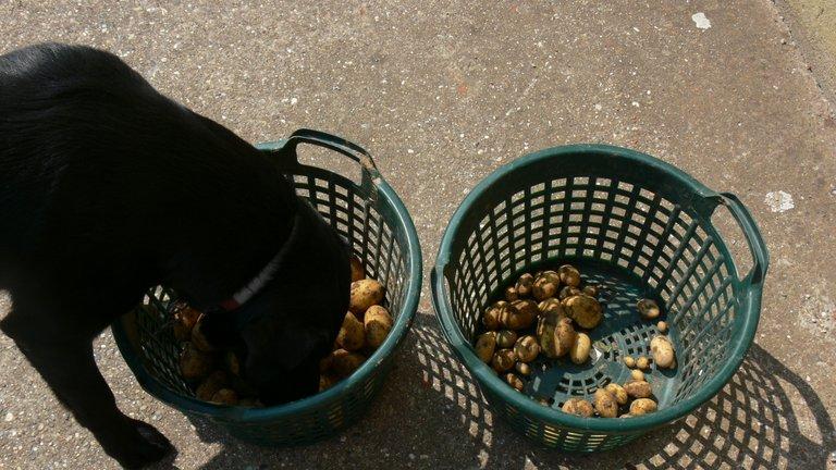 potato_harvest_belana_2021_4_.jpg