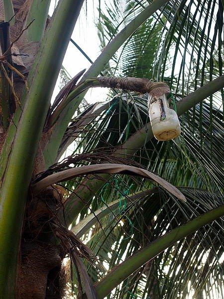 450px-Palm_wine_bottle_on_palm.jpg