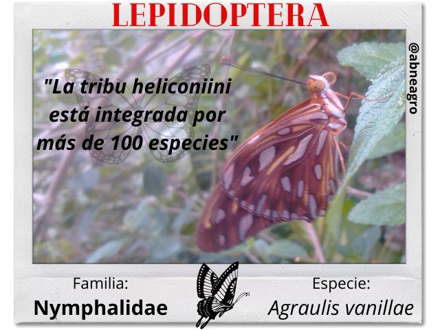 Lepidoptera 1 español.png