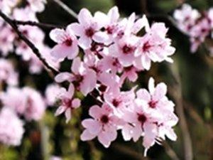 Cherry Plum - Cerasifera.jpg