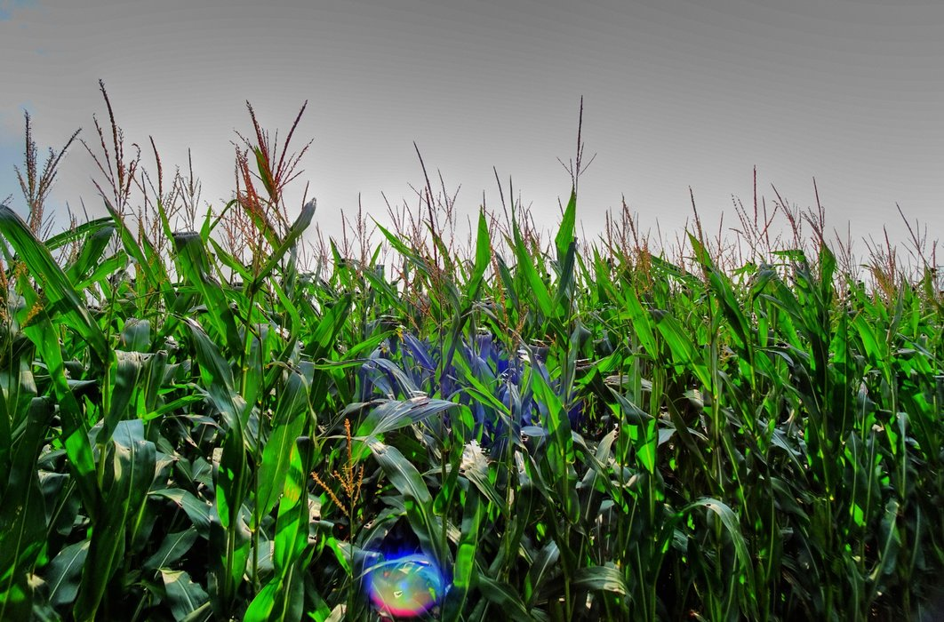 The fields are full of corn.