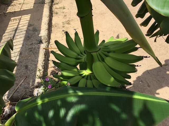 Banano7.png