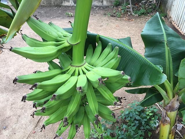 Banano4.png