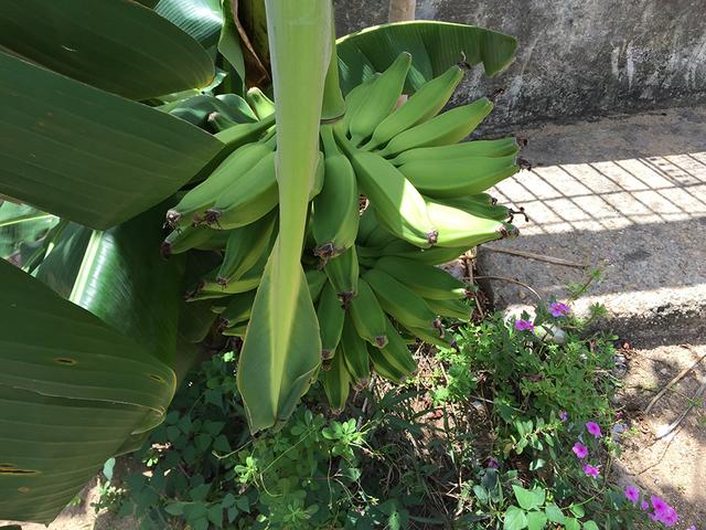 Banano8.png