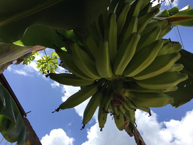 Banano9.png