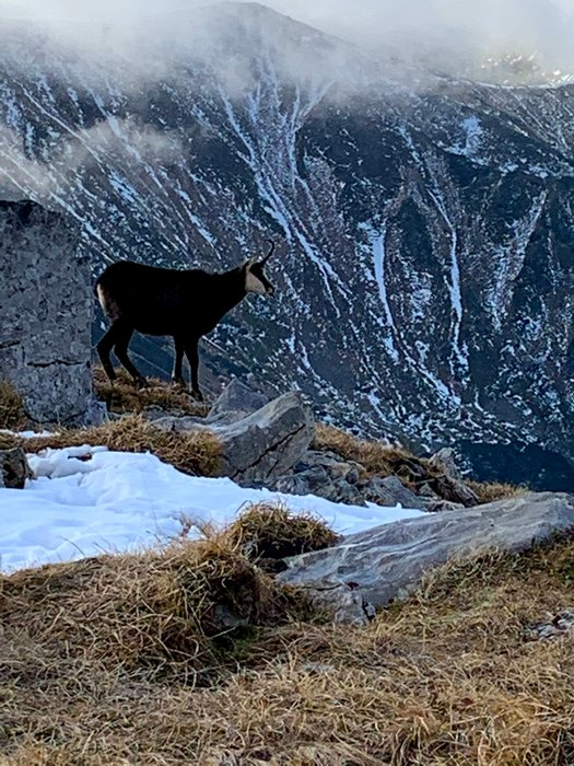 A mountain goat at Czerwone Wierchy, the Tatras, Poland/Slovakia