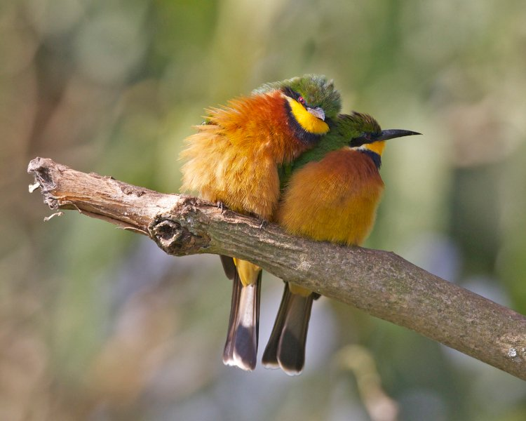 Lovey dovey by bee-eaters credit Lip Kee from Singapore, Republic of Singapore 2.0.jpg