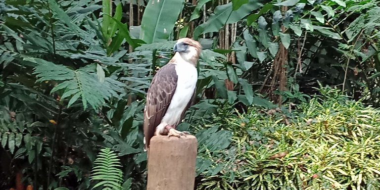 Philippine Eagle at the Philippine Eagle Center credit RoyKabanlit 4.0.jpg
