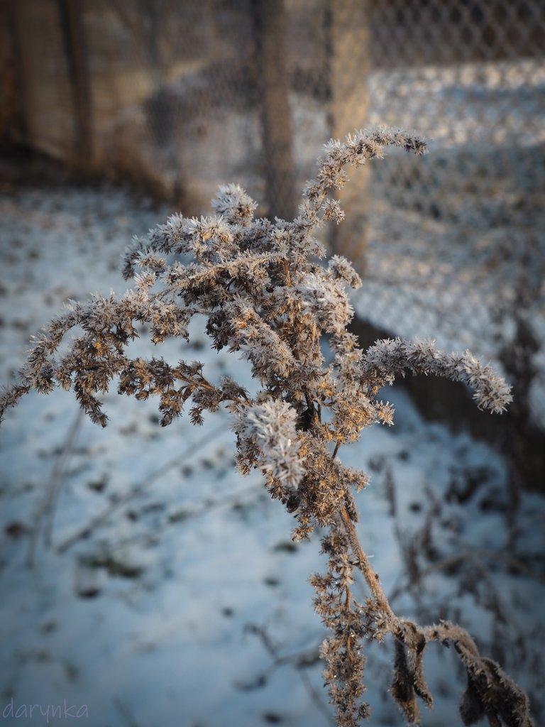 морозний бур'ян 2.jpg