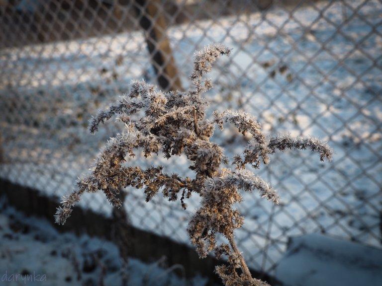 морозний бур'ян 3.jpg